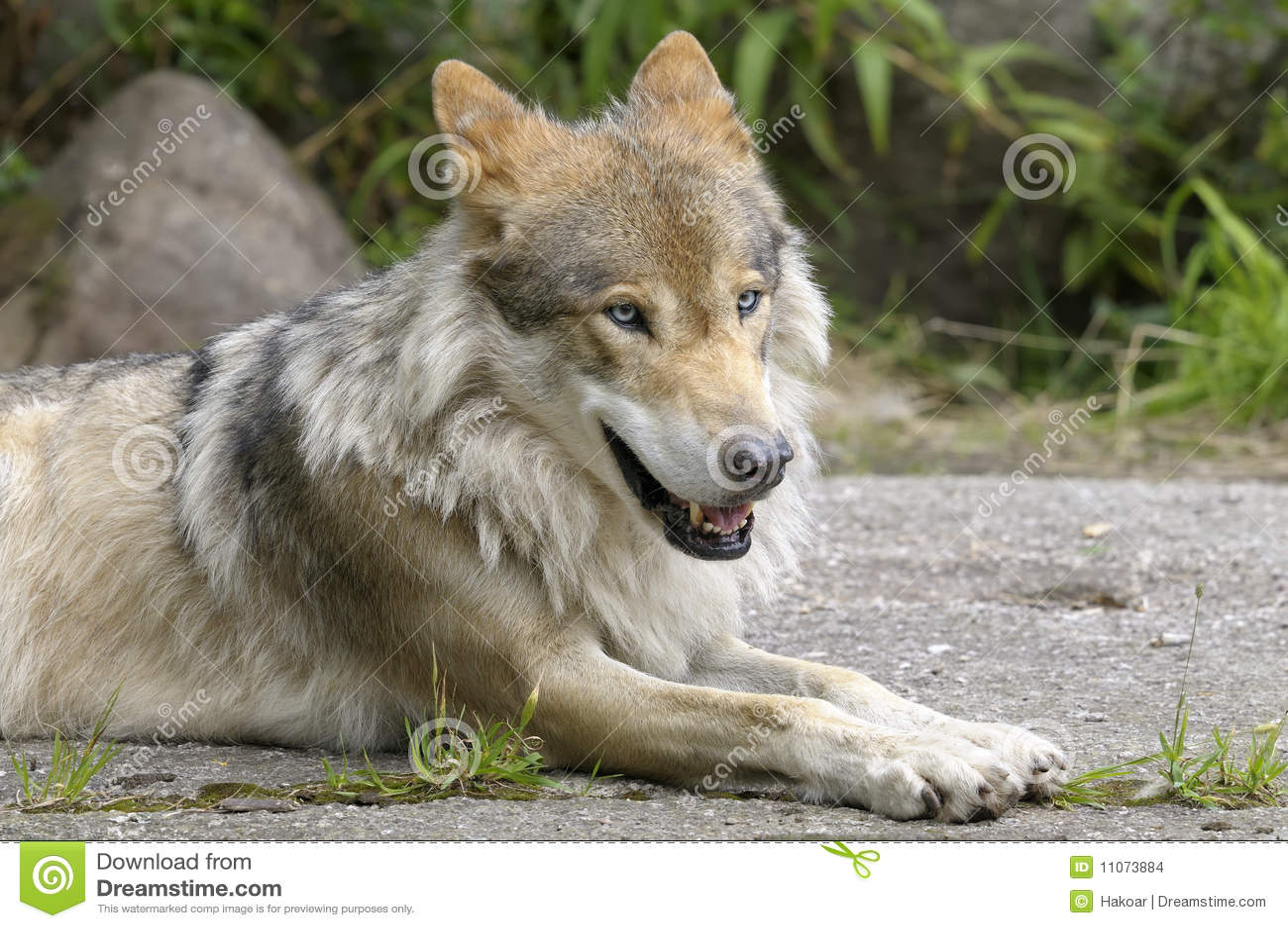 Lobo, lúpus de canis