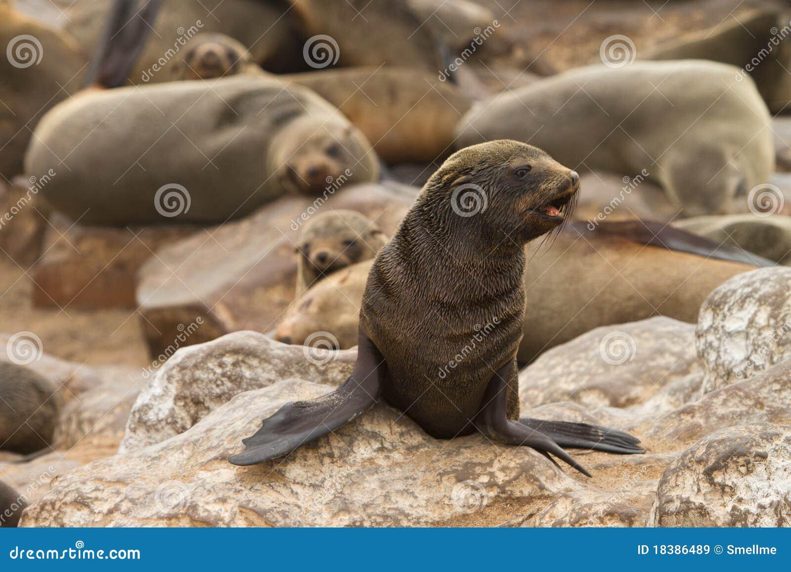 Lobo-marinho do cabo