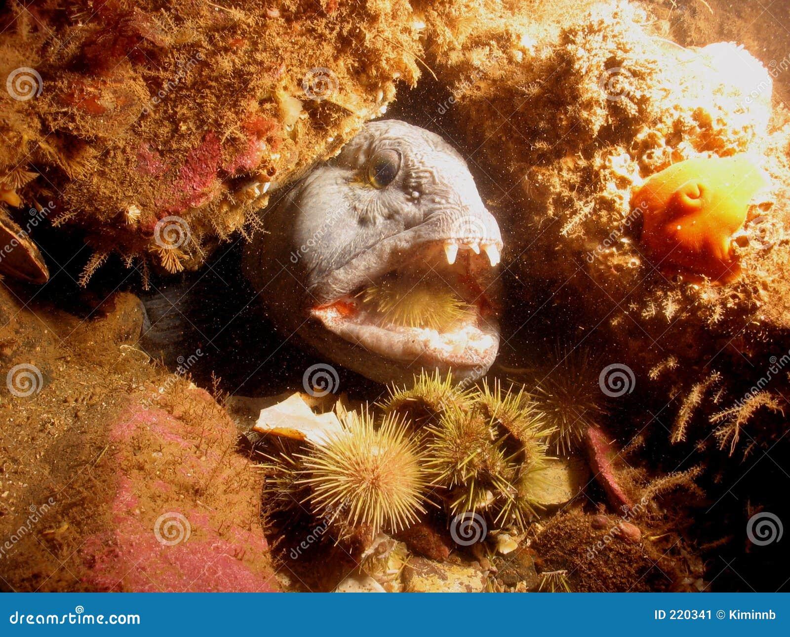 Lobo-marinho que come o ouriço-do-mar