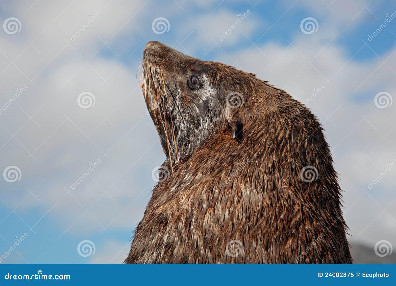Lobo marino de Brown
