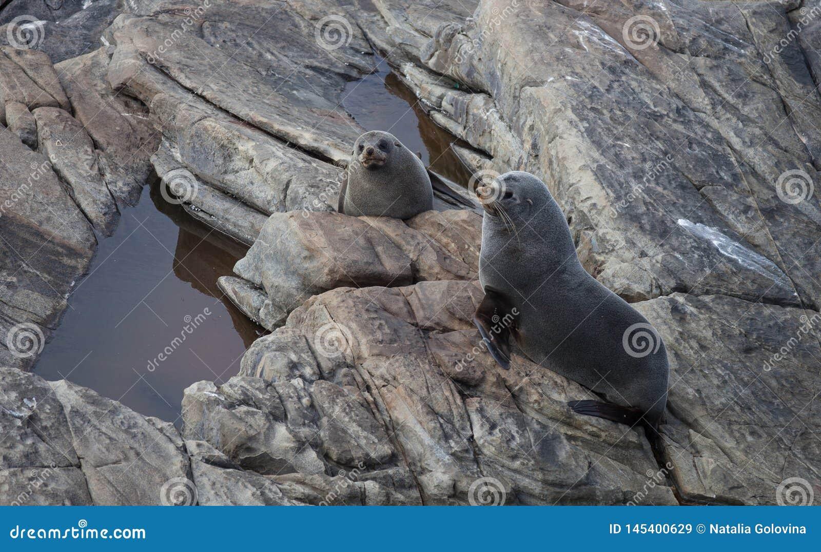 Lobo marino de Nueva Zelanda, forsteri del Arctocephalus, lobo marino con nariz alargada con su perrito del beb? Lobo marino Aust