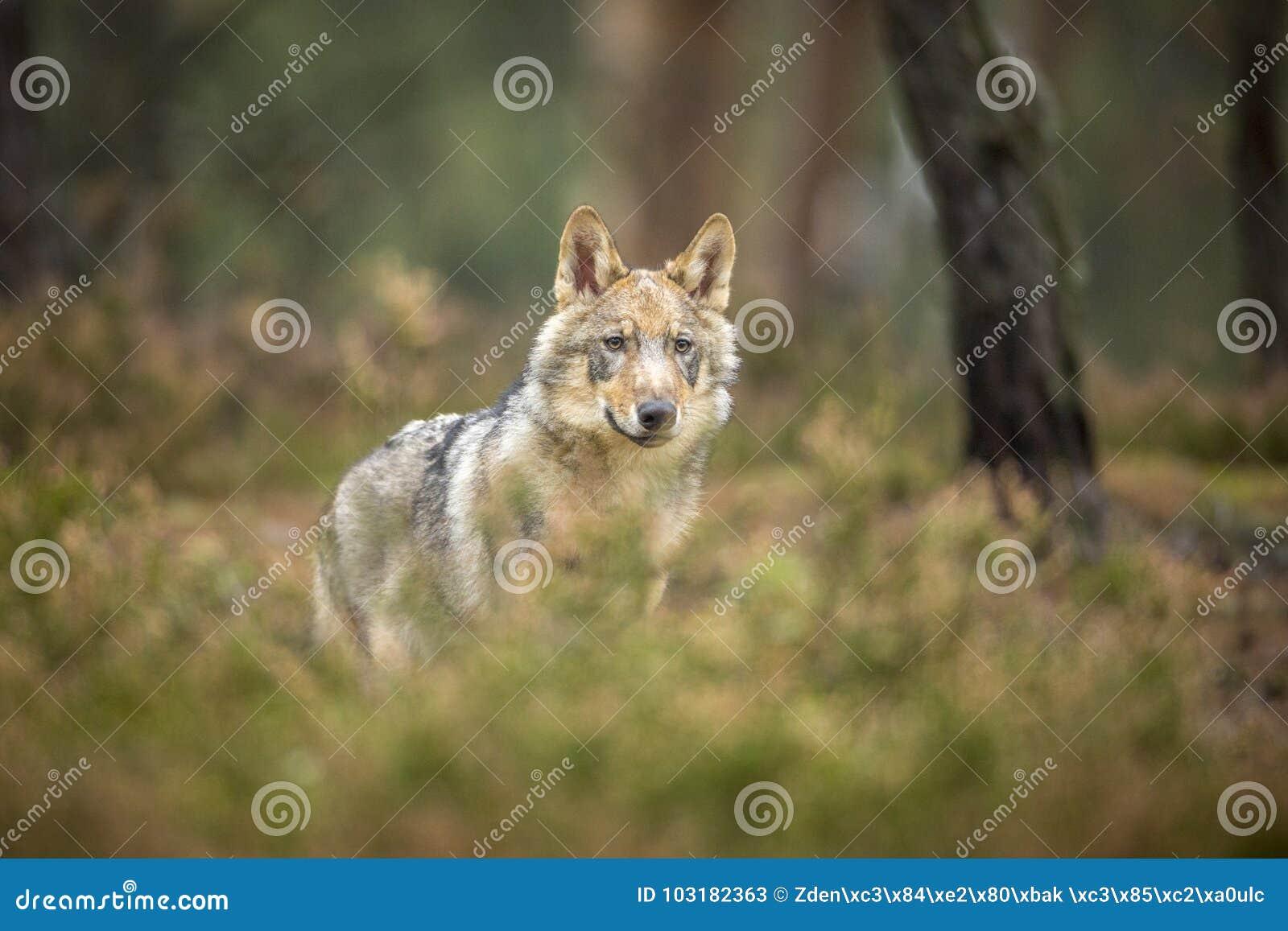 Lobo novo
