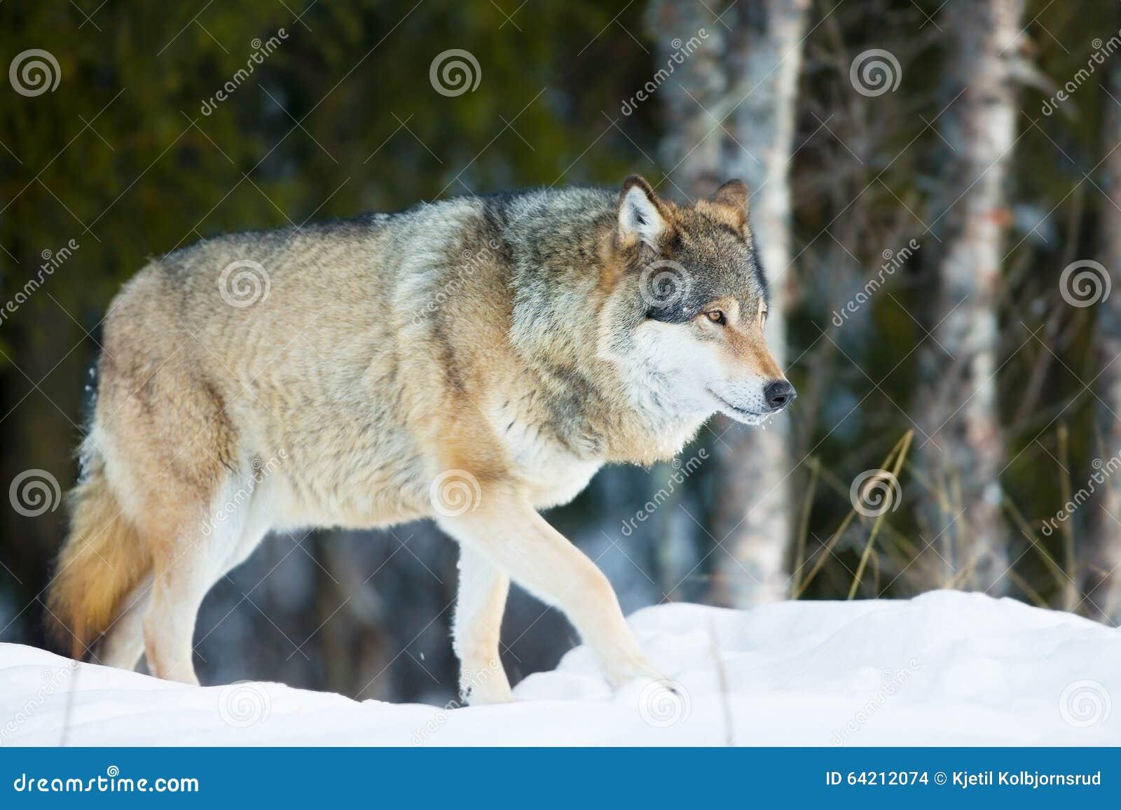 Lobo que camina en el bosque frío del invierno