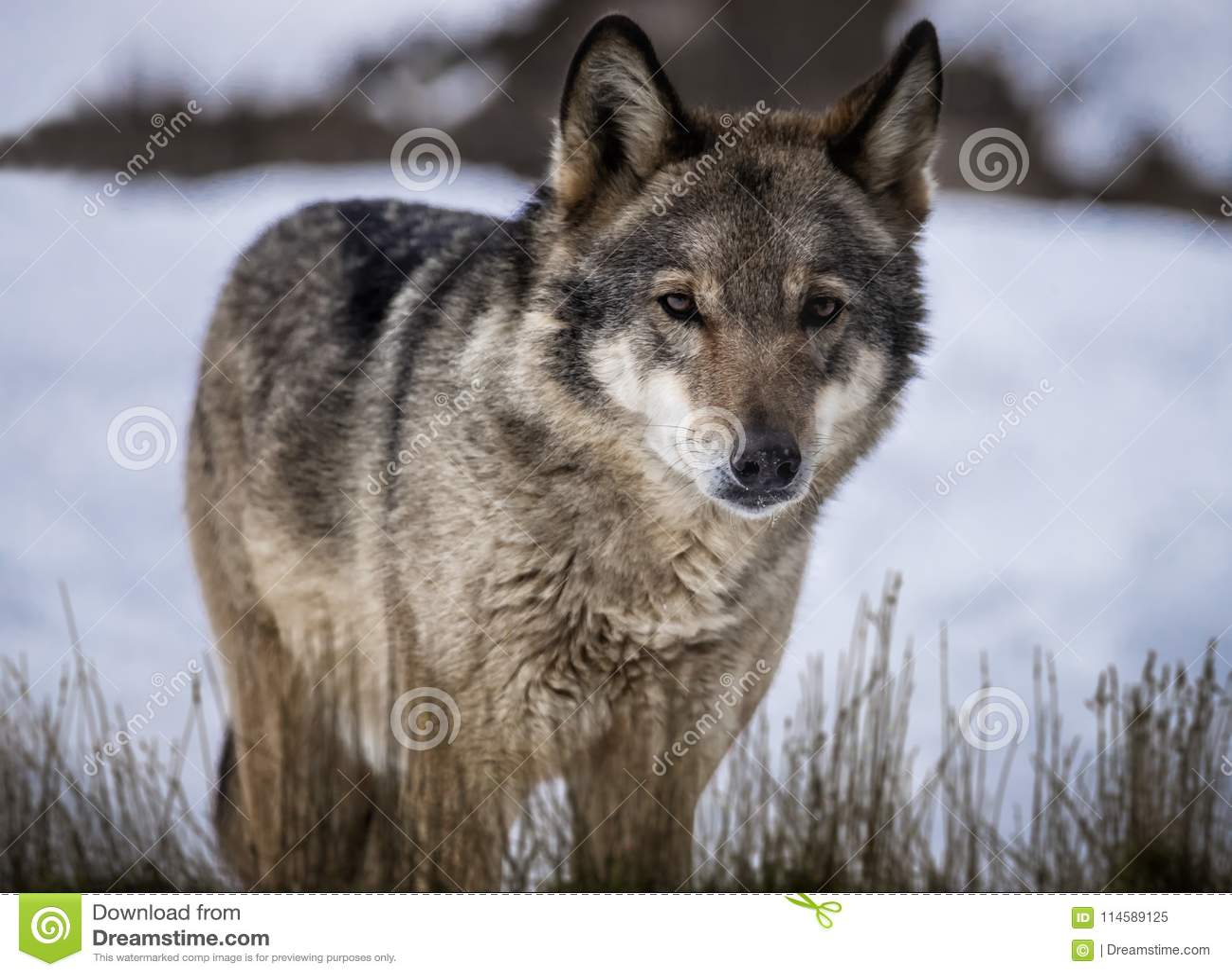 Lobo que está na grama na neve na floresta