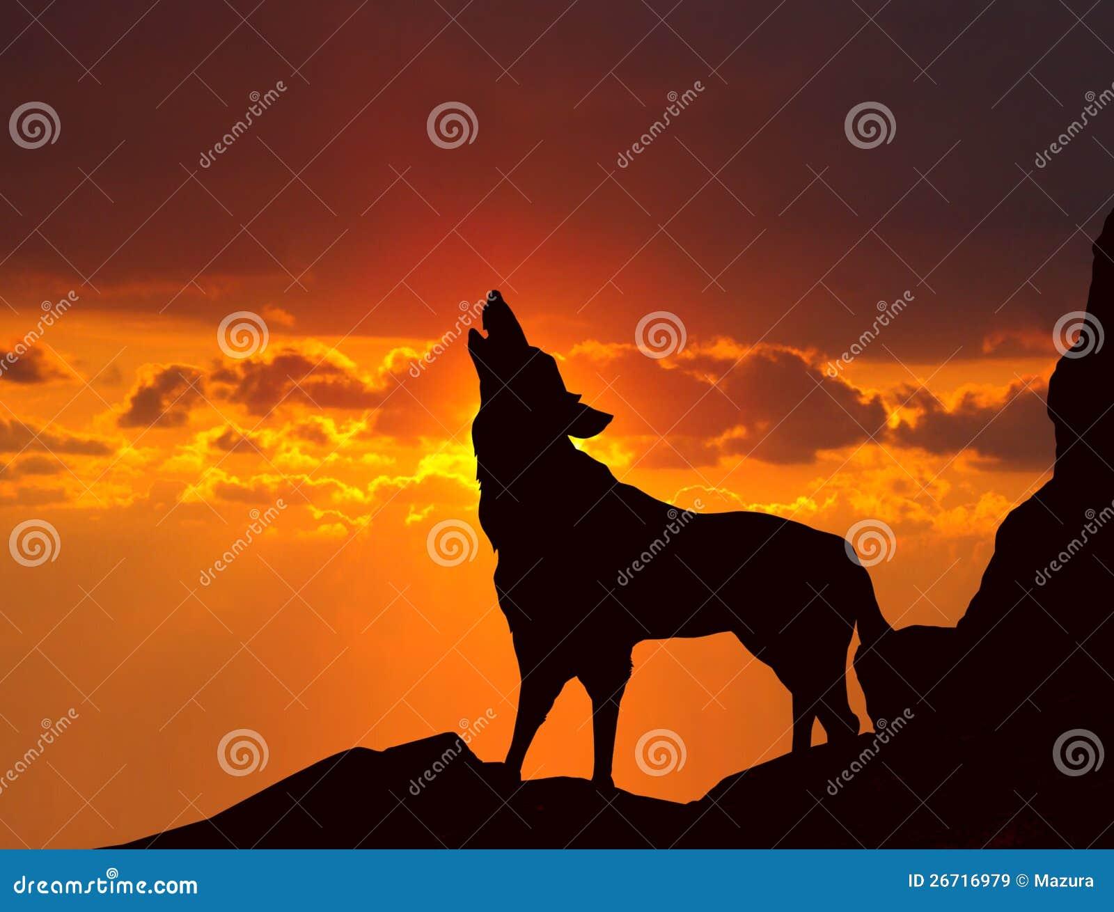 Lobo que grita en la puesta del sol