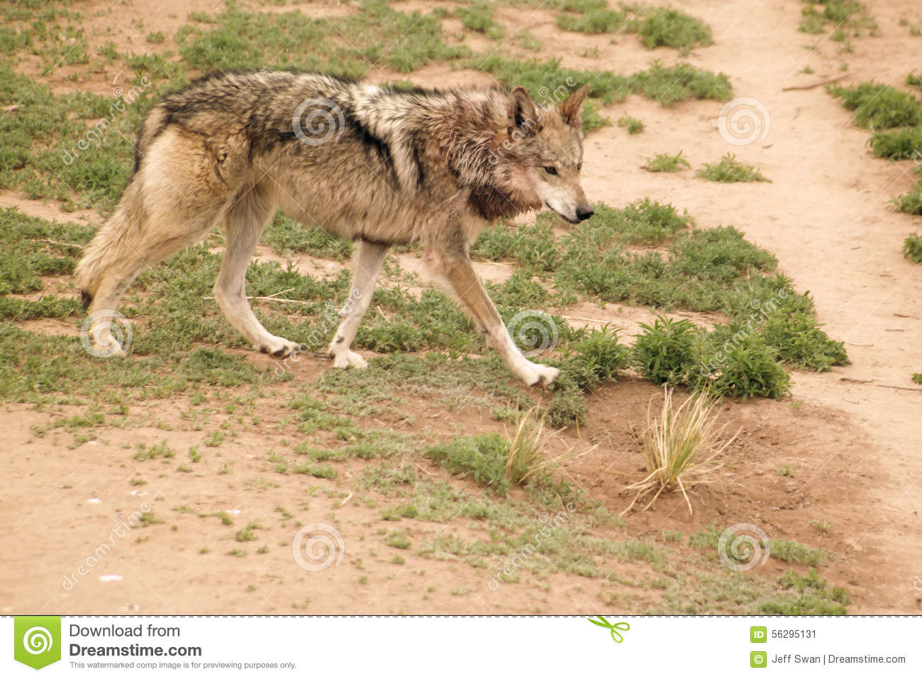 8d36a3cc4 A lobo at wildlife west in New Mexico.