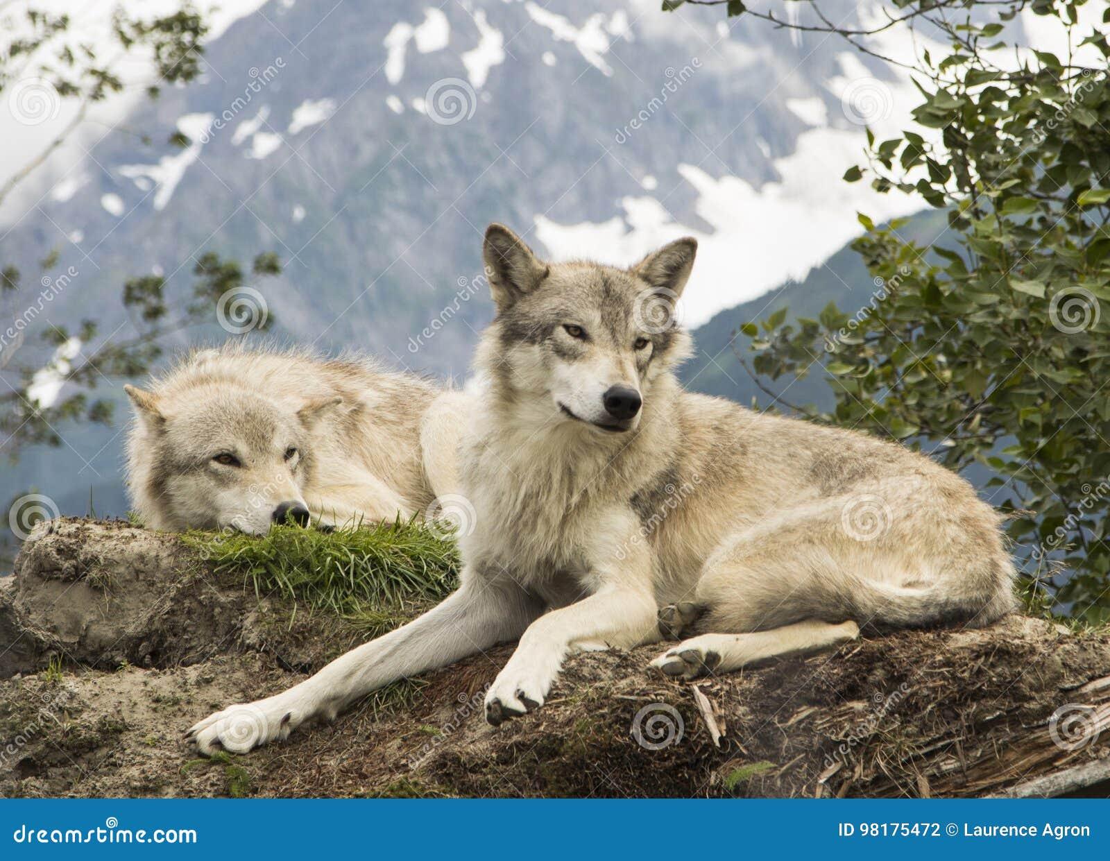 Lobos de Alaska de la tundra