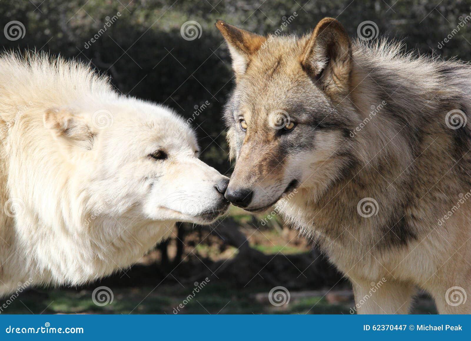 Lobos de Wolf Kiss Alaskan Gray Timber