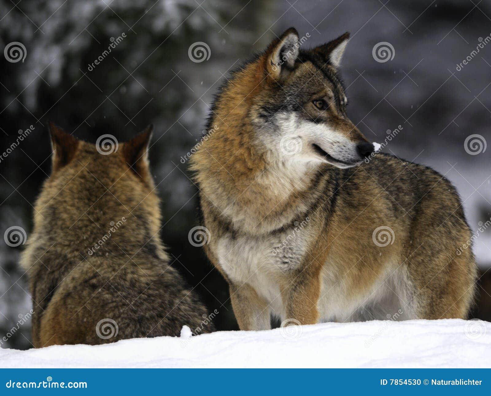 Lobos No Inverno Foto De Stock Imagem De Grande Forte 7854530