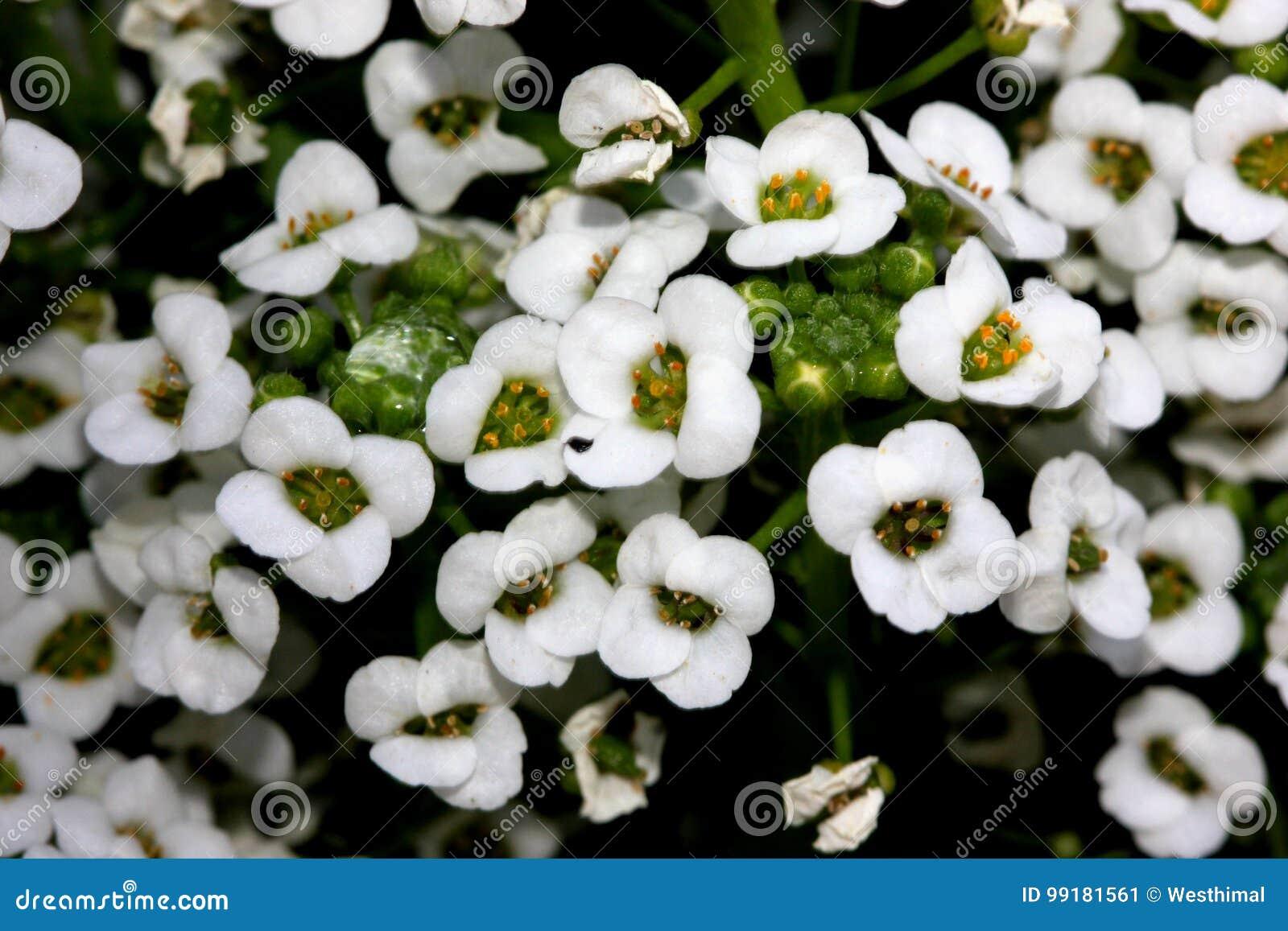 Lobularia maritima sweet alyssum sweet alison stock image image lobularia maritima sweet alyssum sweet alison stock image image of alyssum small 99181561 izmirmasajfo