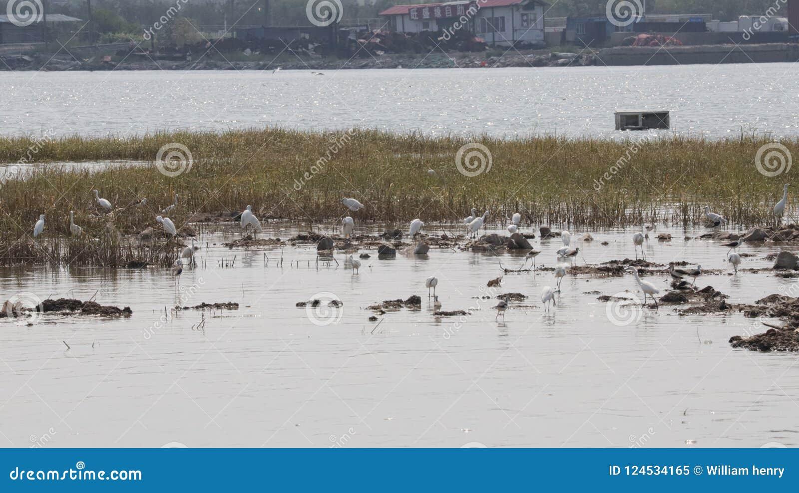 Local de assentamento preto do pernas de pau e dos Egrets do pescoço na aldeia piscatória China norte de Bai Tong