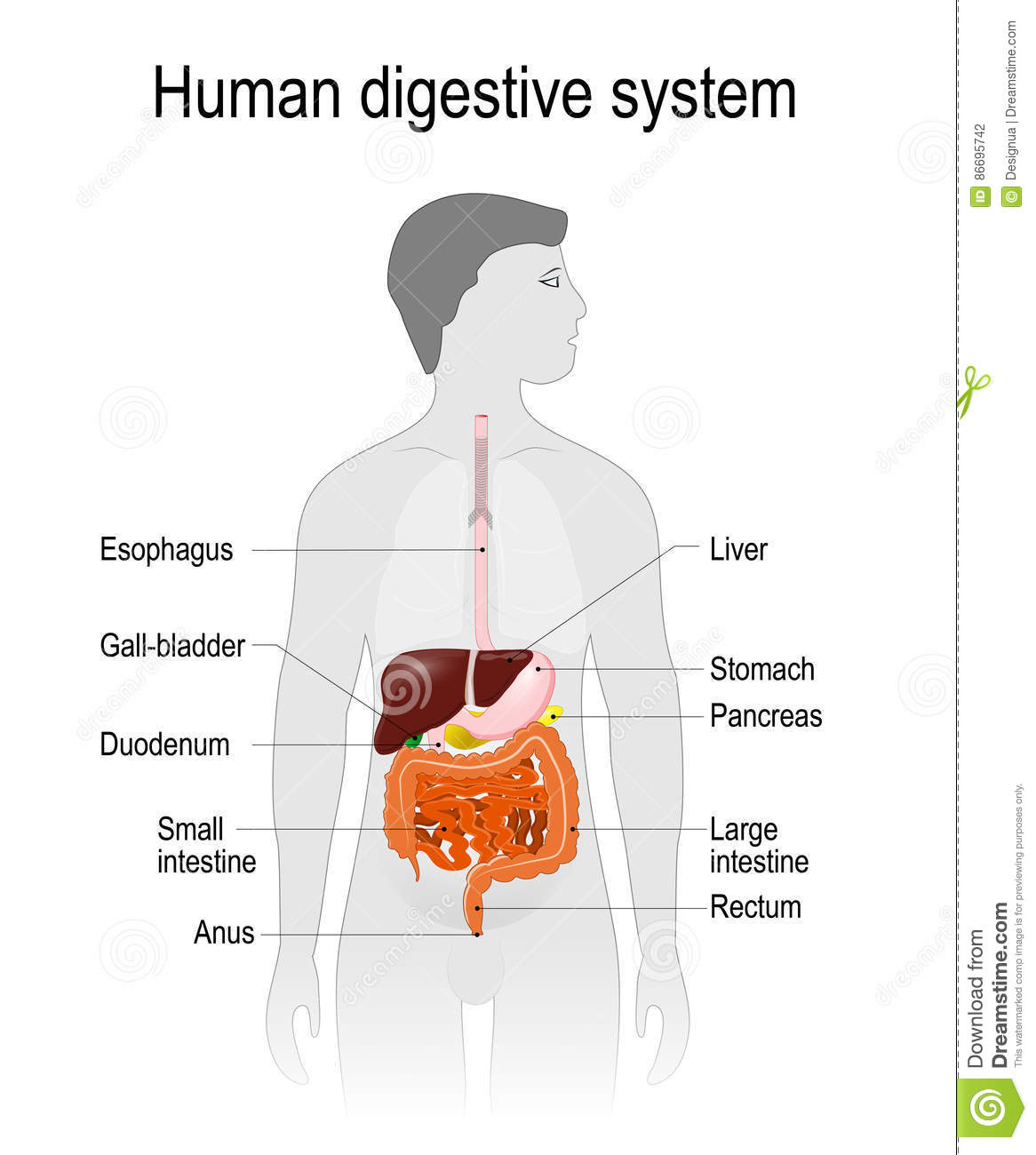 The Location Of The Digestive System In The Human Body Stock Vector