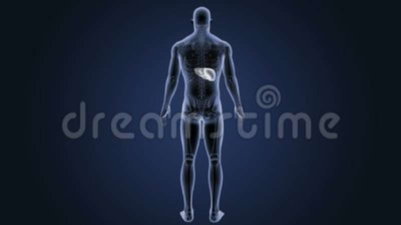 Location Of Human Liver With Skeleton Body Stock Footage Video Of