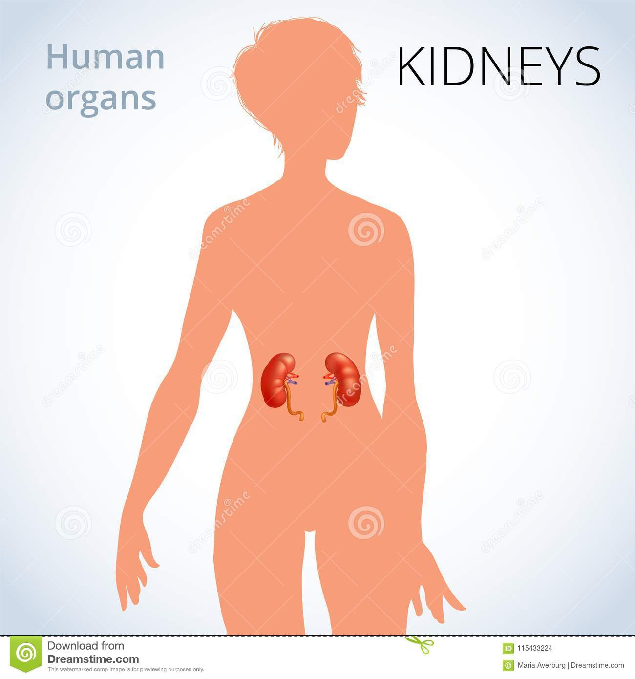 The Location Of The Kidneys In The Female Body  The Human