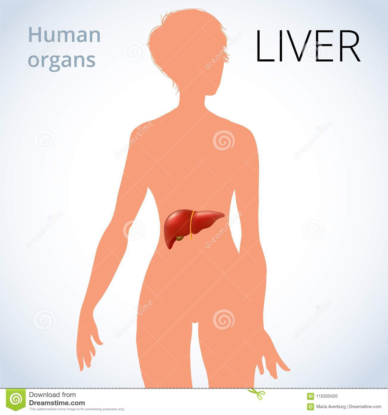 The Location Of The Liver In The Female Body The Human Digestive