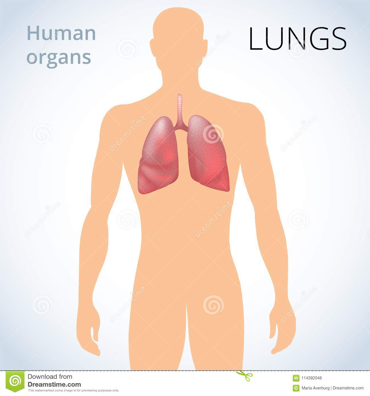 The Location Of The Lungs In The Body The Human Respiratory System