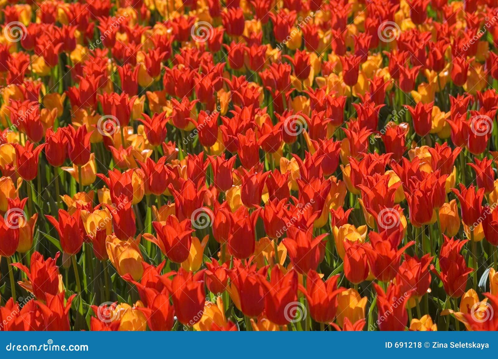 Locura del tulipán