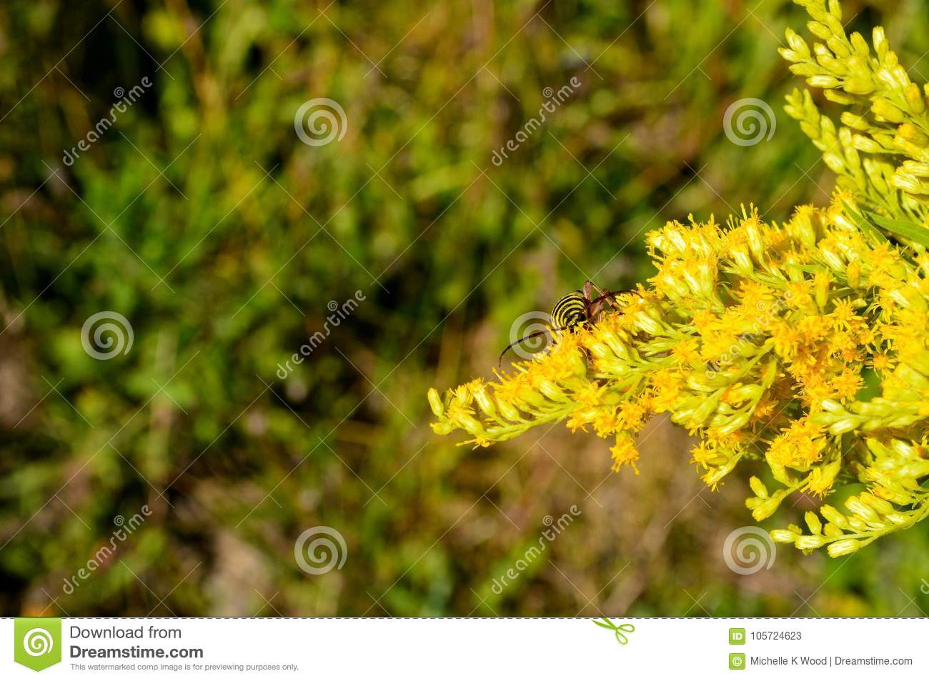 Locust borer longhorn beetle on goldenrod flowers