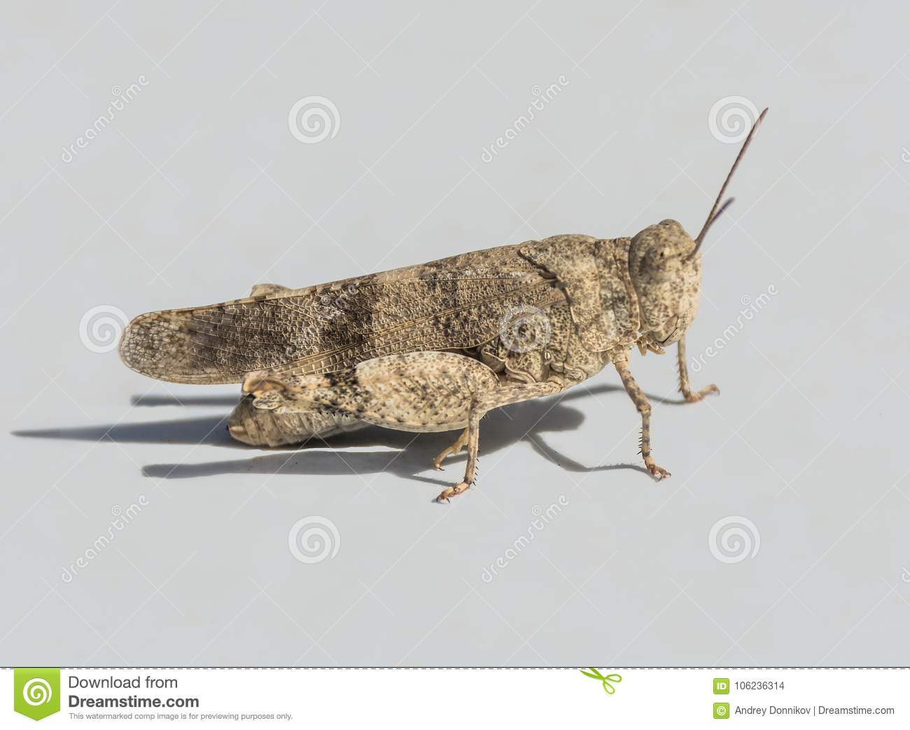 Locust isolated on white background. Side view. Macro.