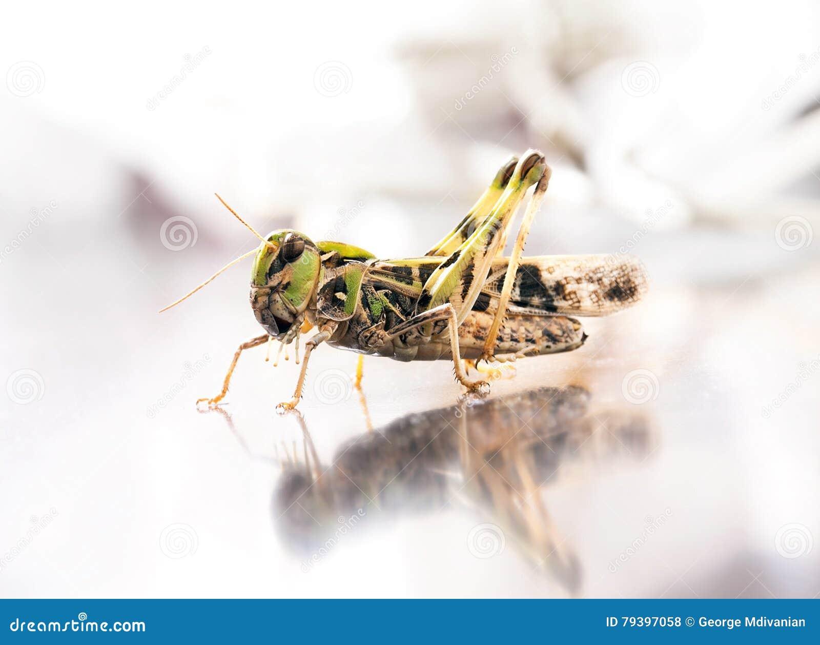 Locust macro portrait