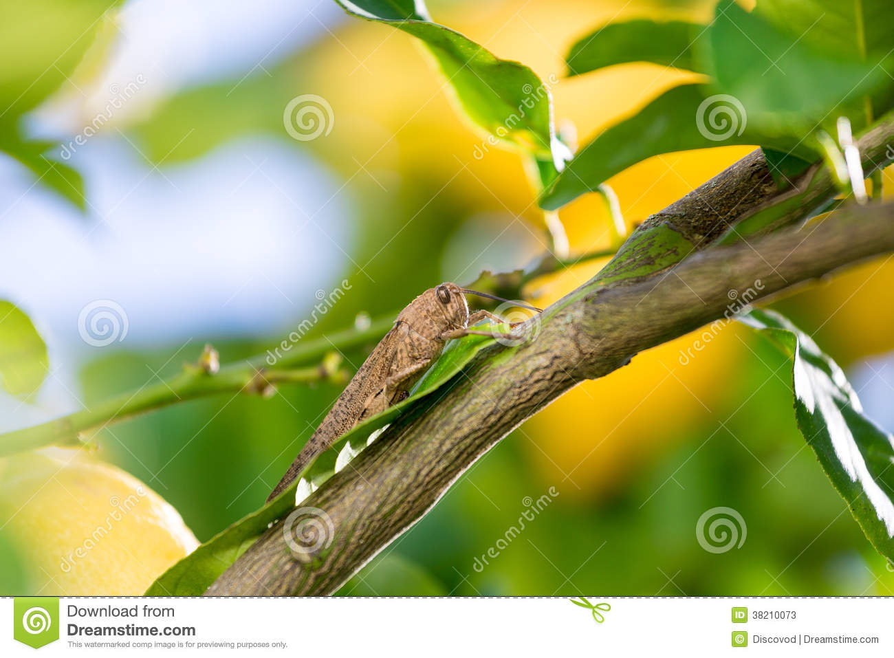 Locust Sits On A Branch Of Lemon Tree Stock Image - Image