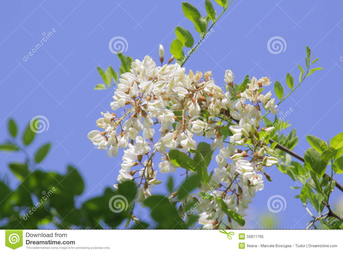 Locust Tree Flowers And Leaves With Bees Stock Image