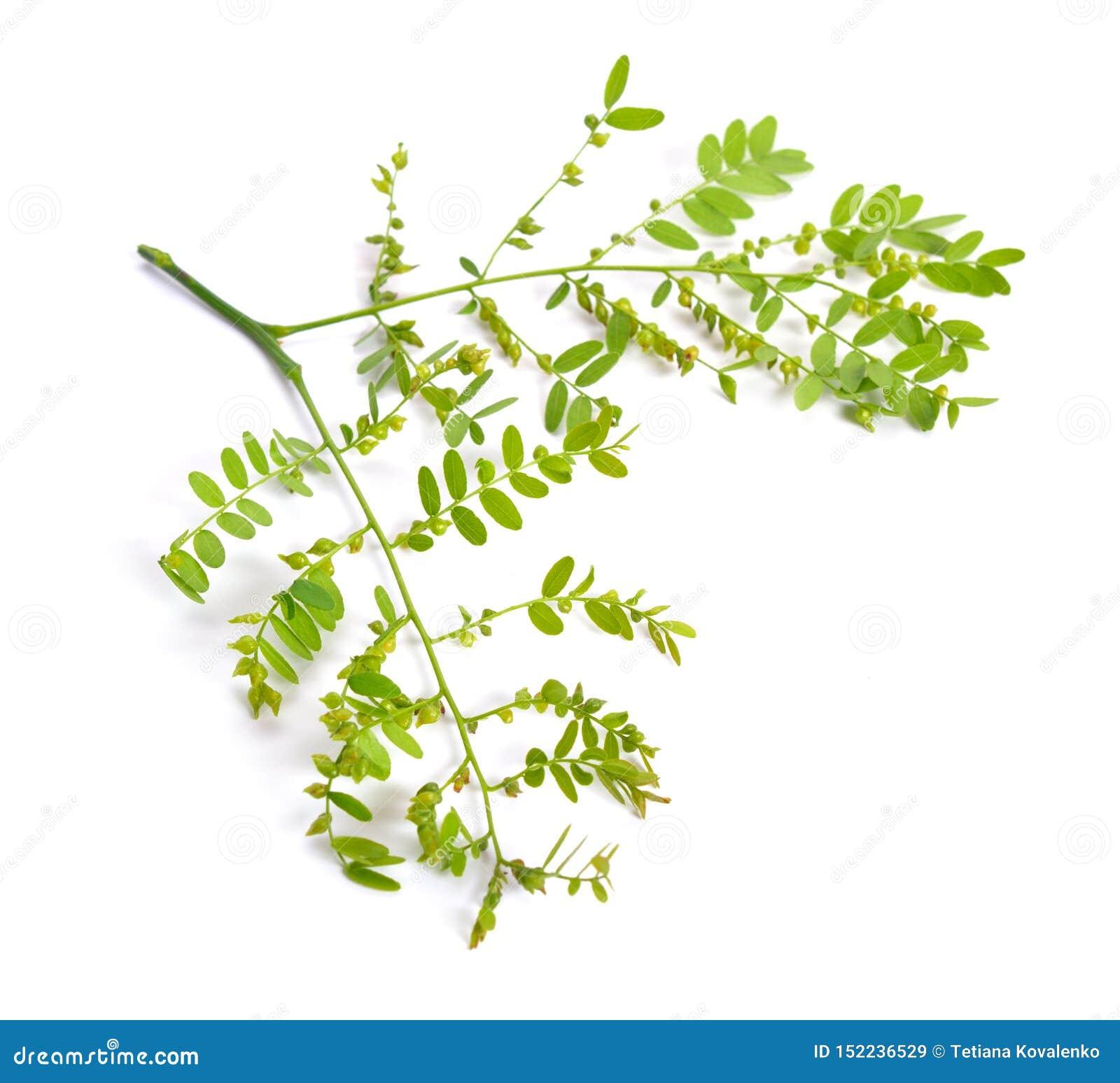 Locusta di Gleditsiaor della pianta isolata su fondo bianco