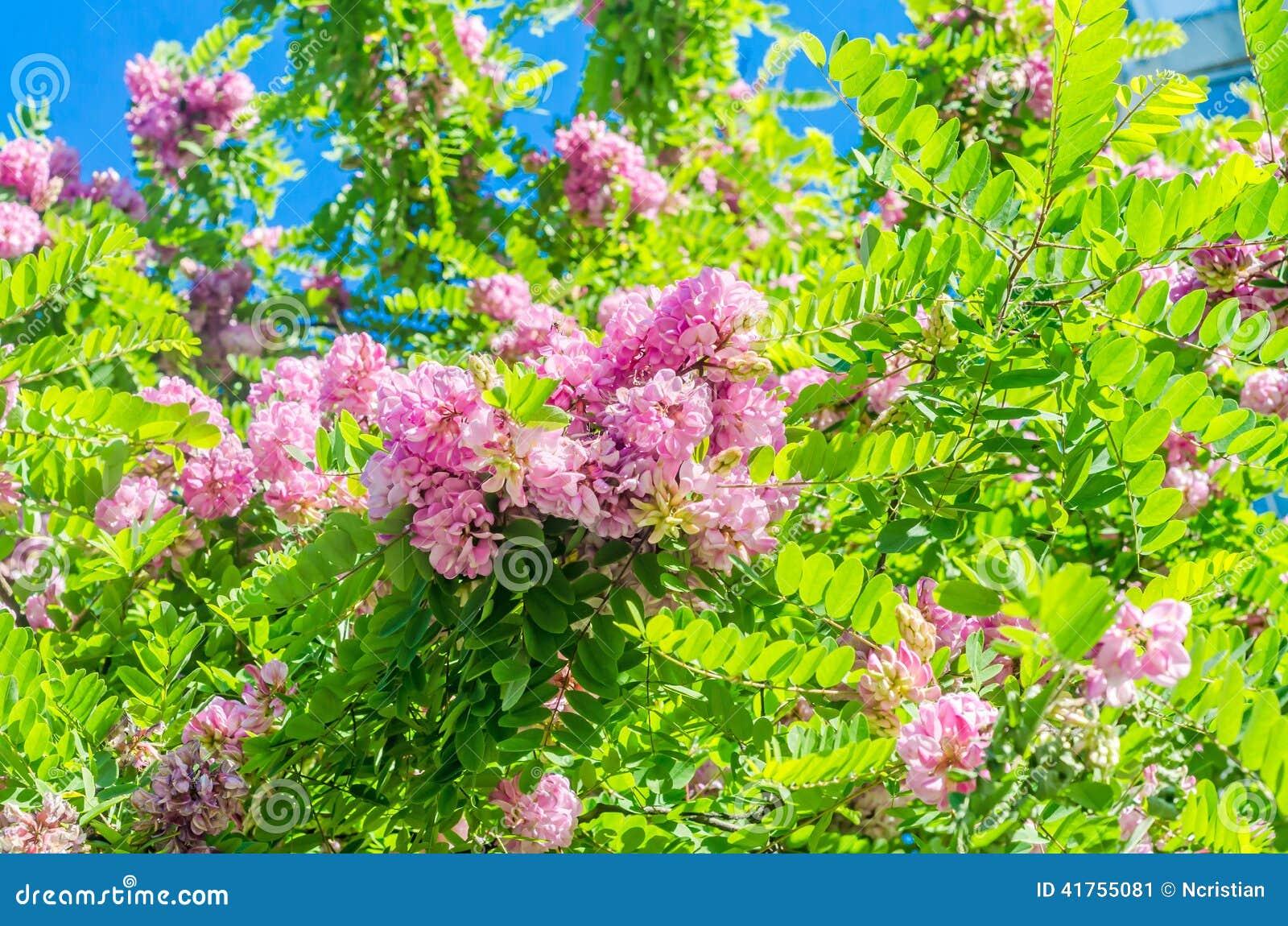 Locusta nera rosa, fiori di robinia pseudoacacia