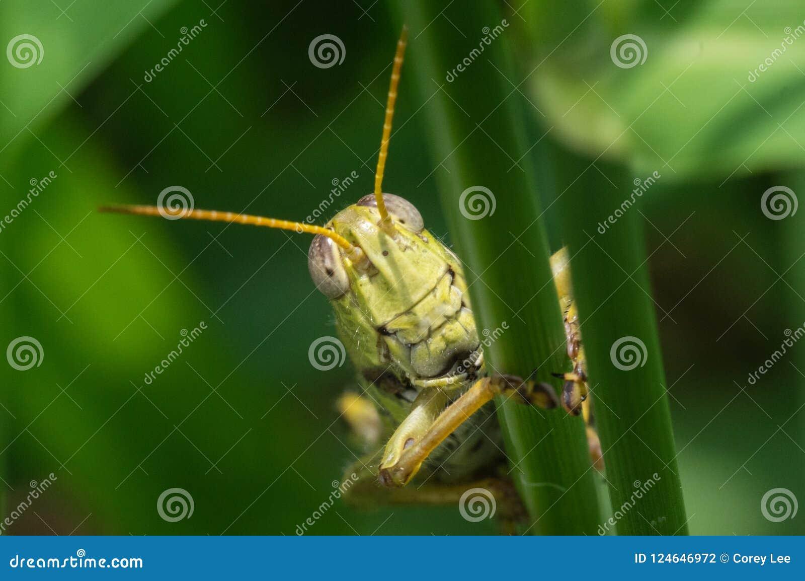Locusta sulla lama di erba alta