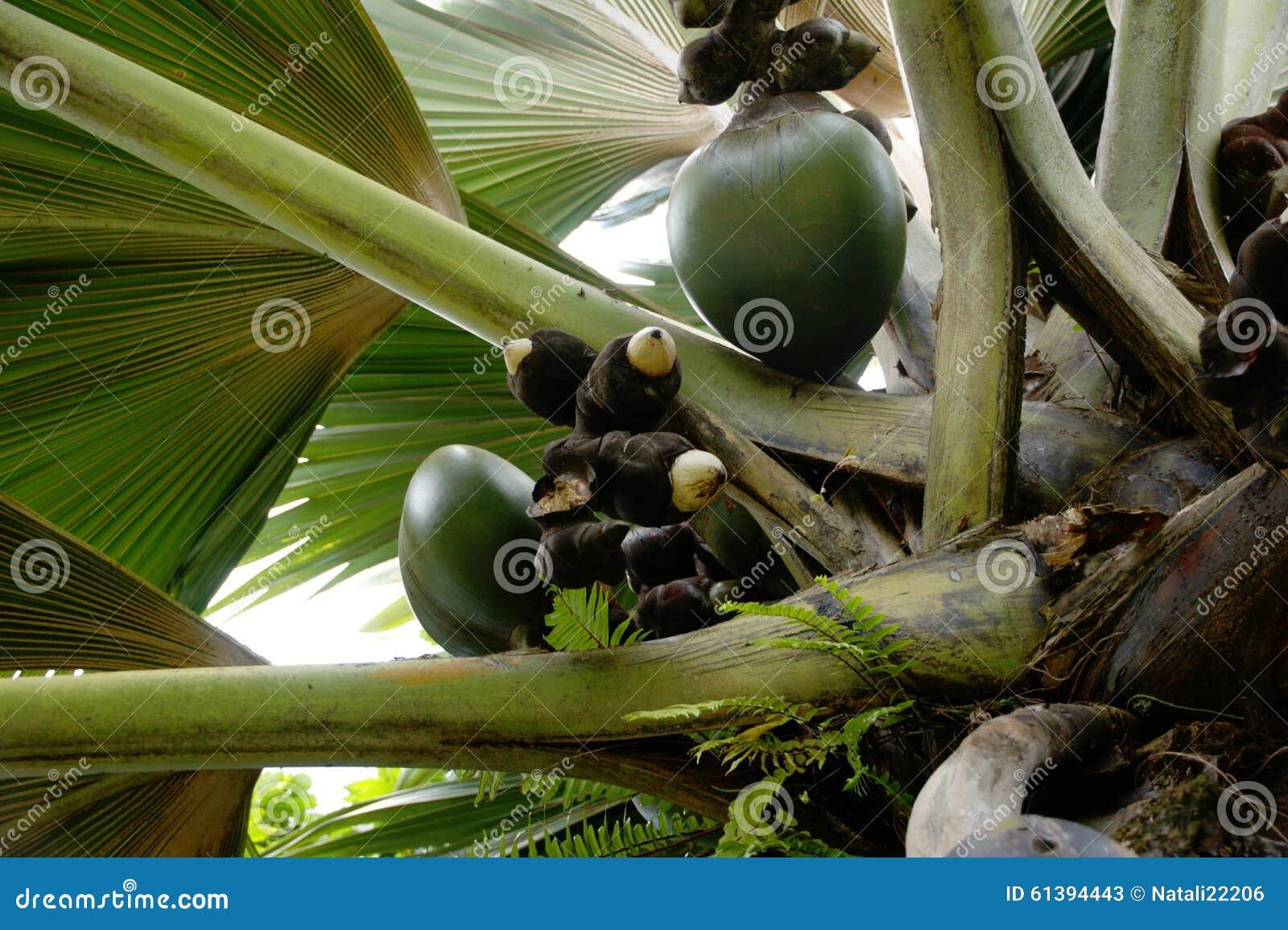 Lodoicea havskokosnöt, coco de mer, dubbel kokosnöt, Lodoicea maldivicacloseup