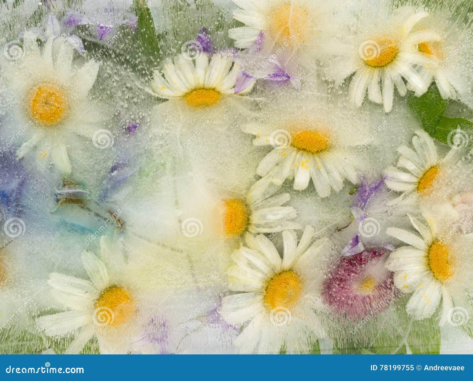 Lodowa abstrakcja z chamomile kwiatami