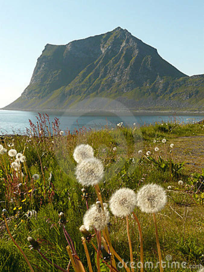 Lofoten s dandelions and mountains