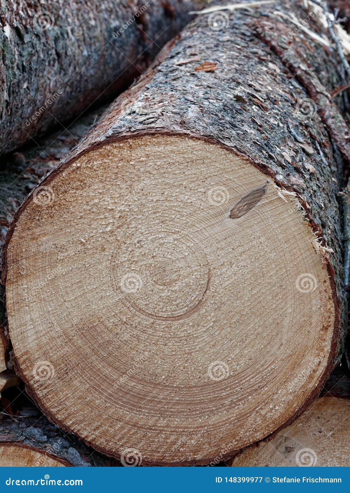 Log cortado fresco, fim acima