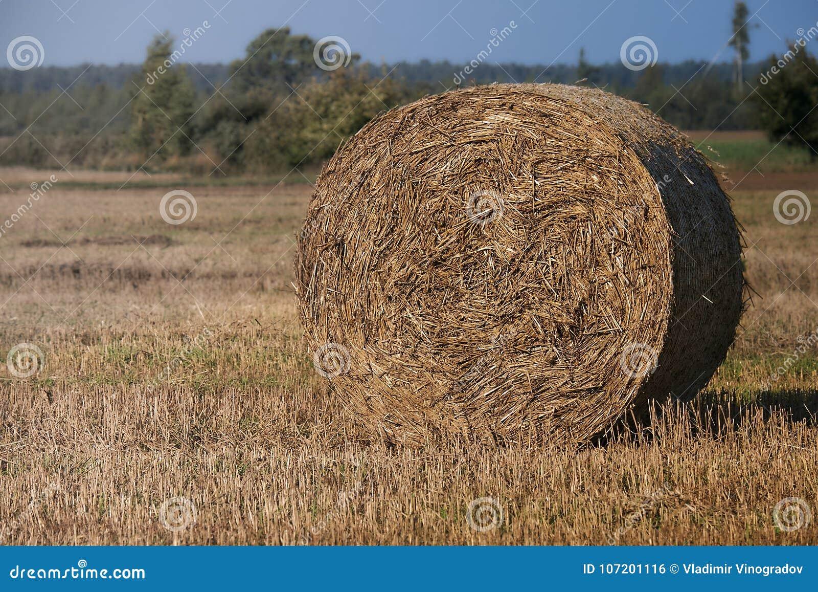Log siano Rolnictwa pole z niebieskim niebem Wiejska natura w rolnej ziemi Słoma na łące Pszeniczny żółty złoty żniwo