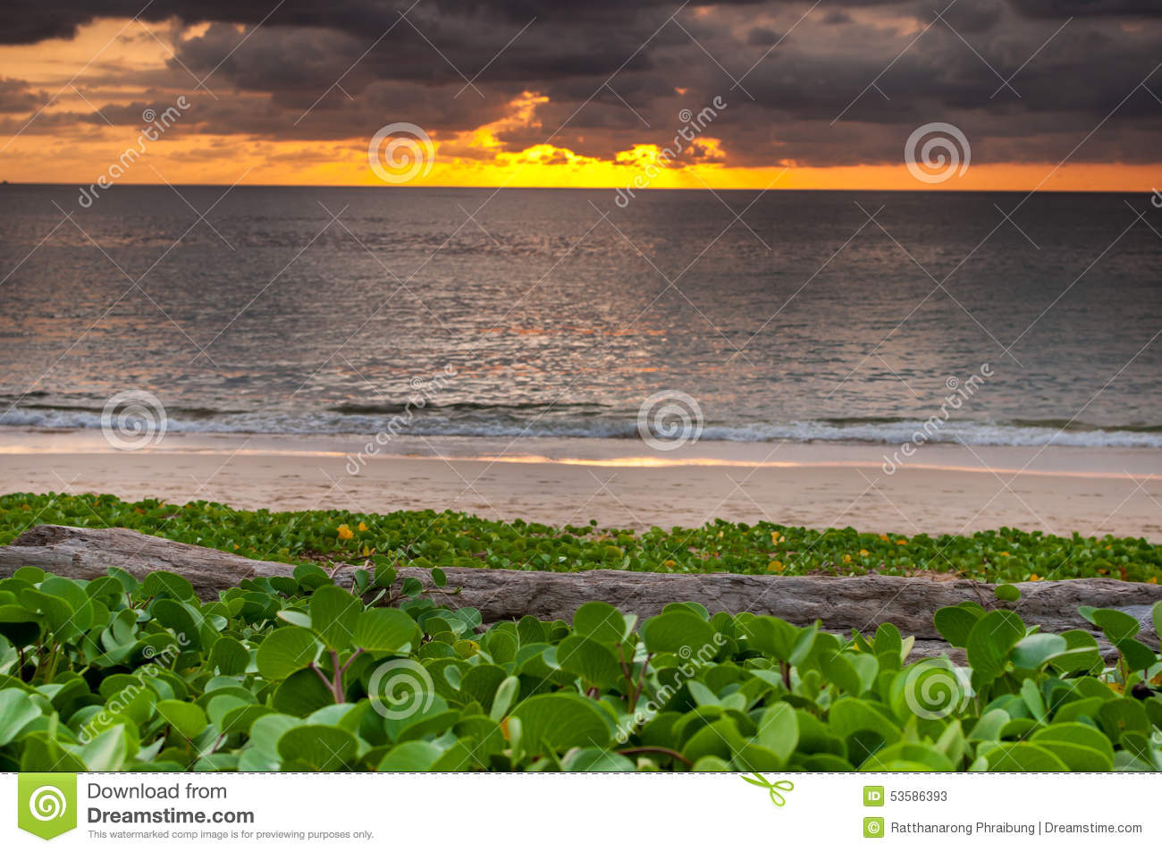 Log wood with beach morning glory on the beach and sunset