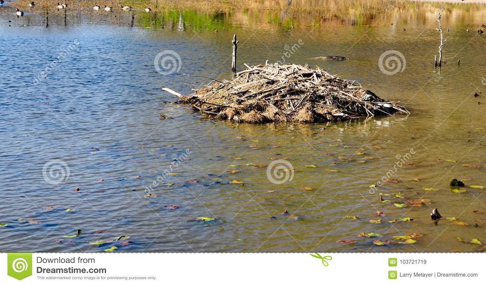 Loge construite par des castors sur l étang de Pandapas
