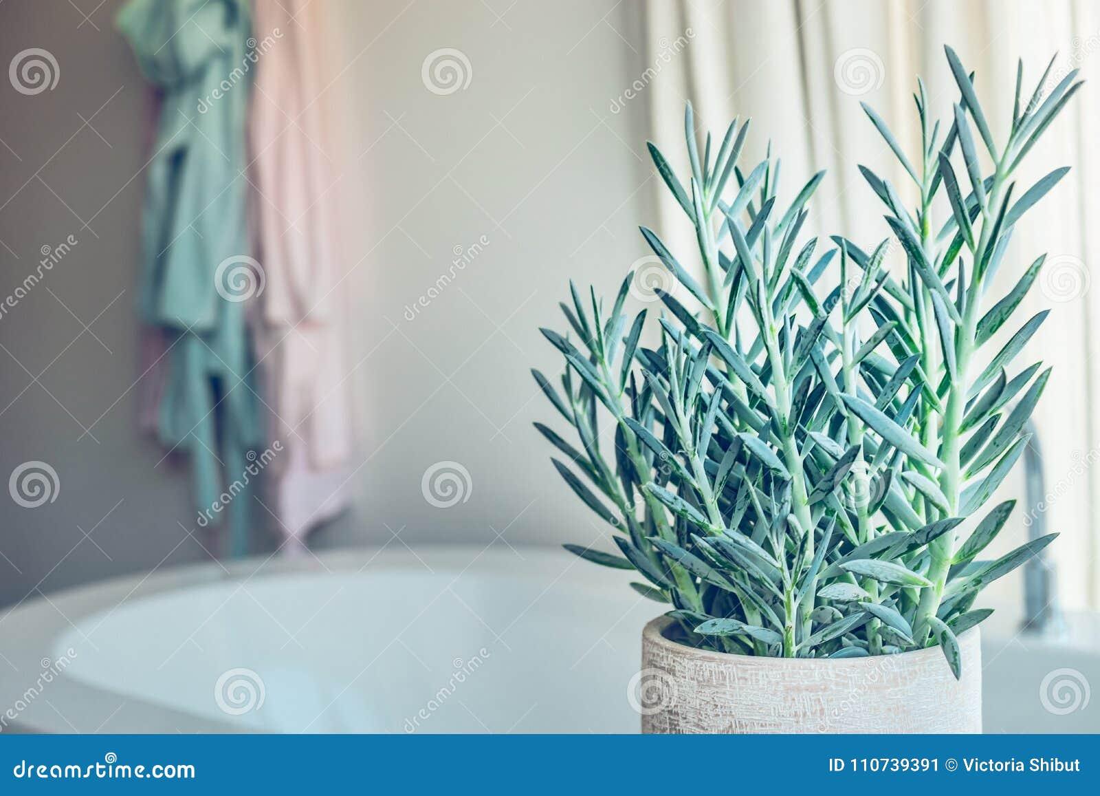 Logez Les Serpens Succulents De Senecio De Plante Verte Ou ...