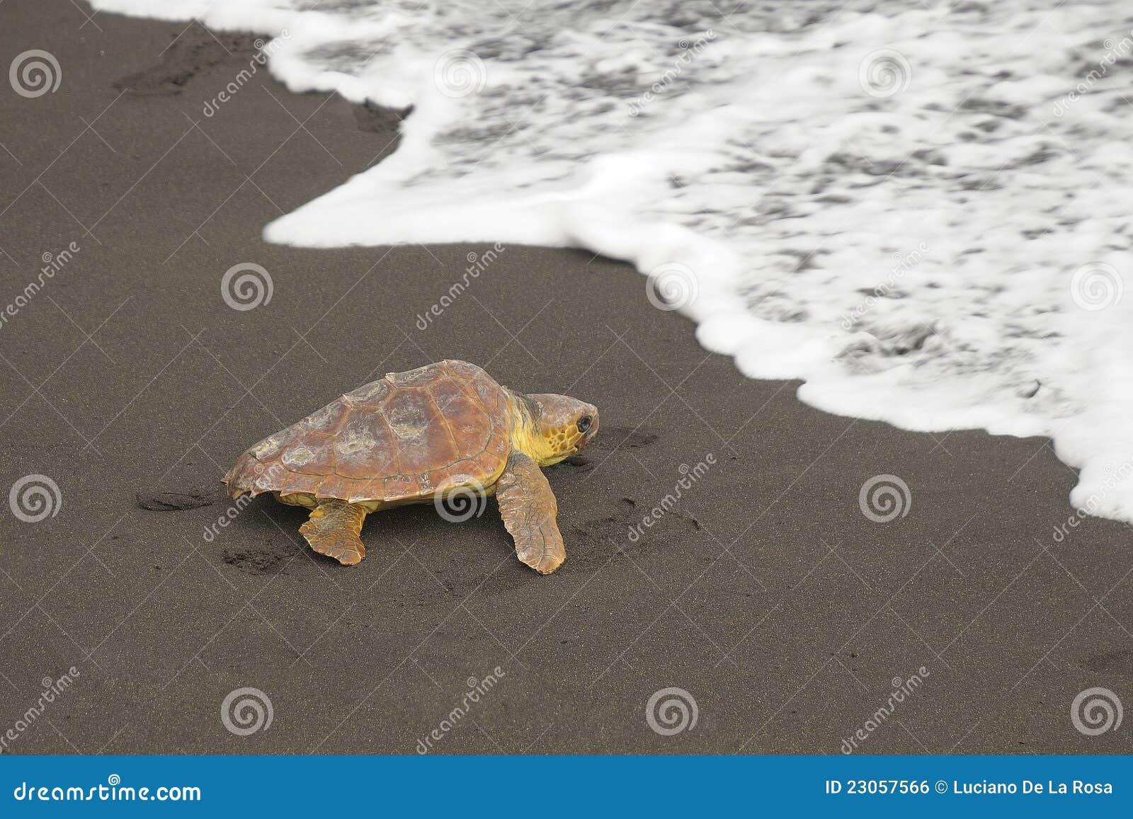 Loggerhead schildpadden (caretta Caretta)