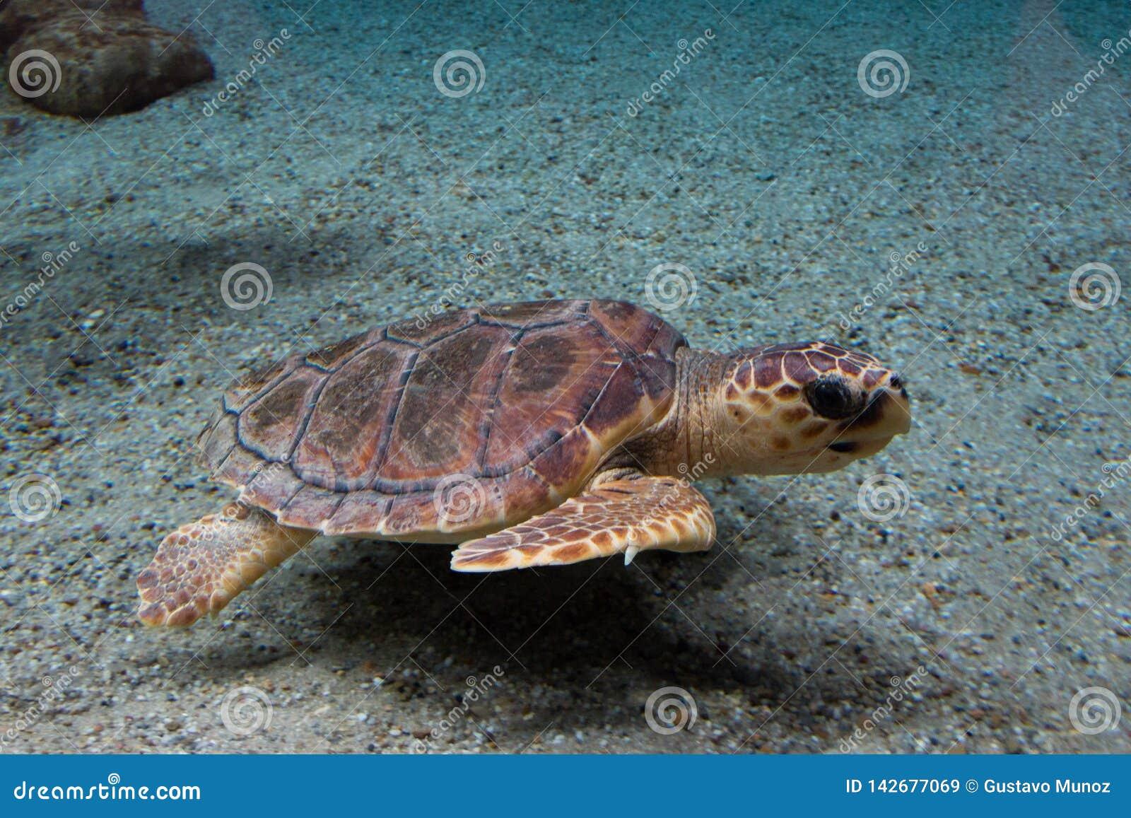 Loggerhead sea turtle Caretta caretta, also known as the loggerhead. Wild life animal