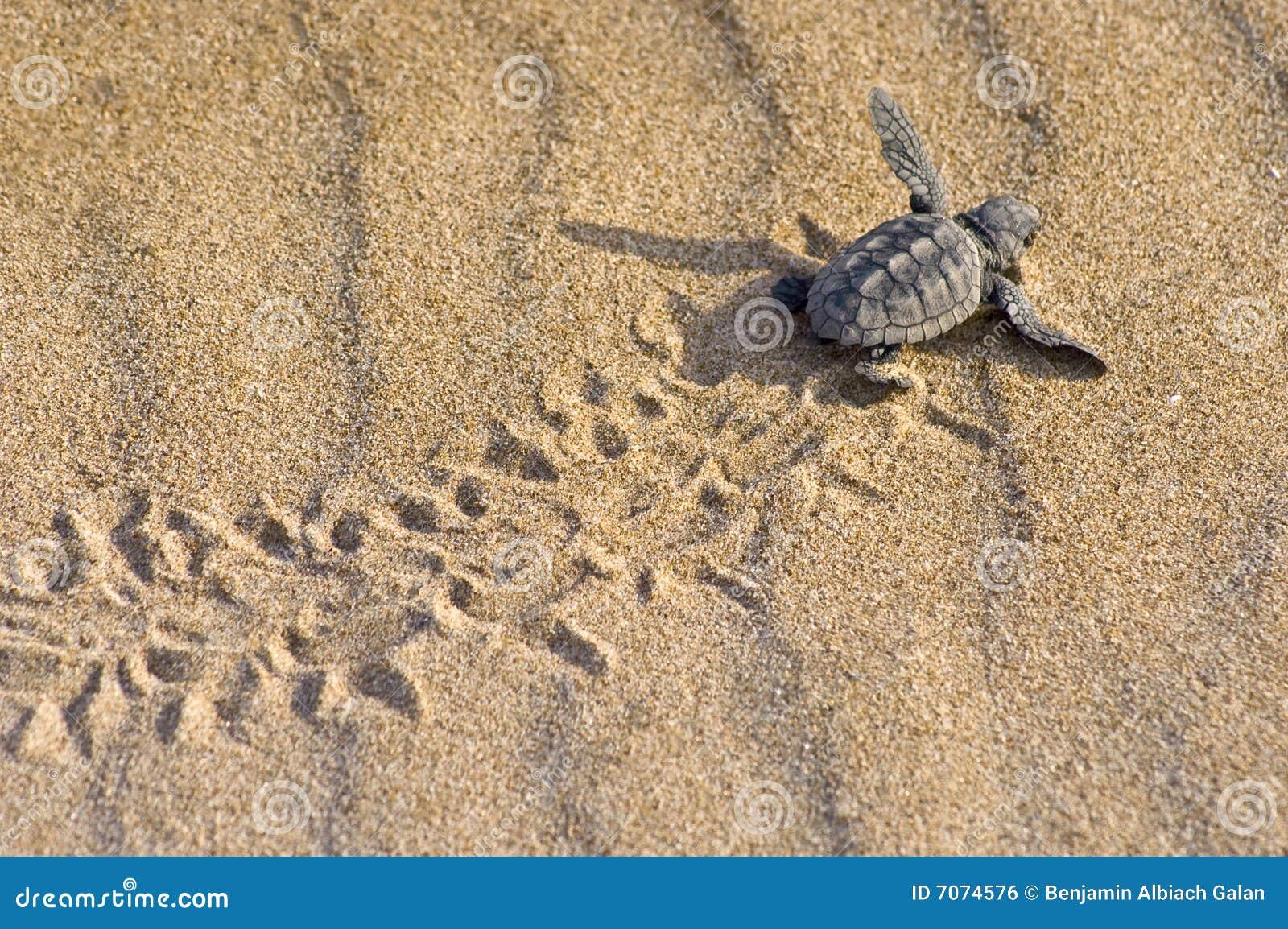 Loggerhead Turtle baby(Caretta caretta)