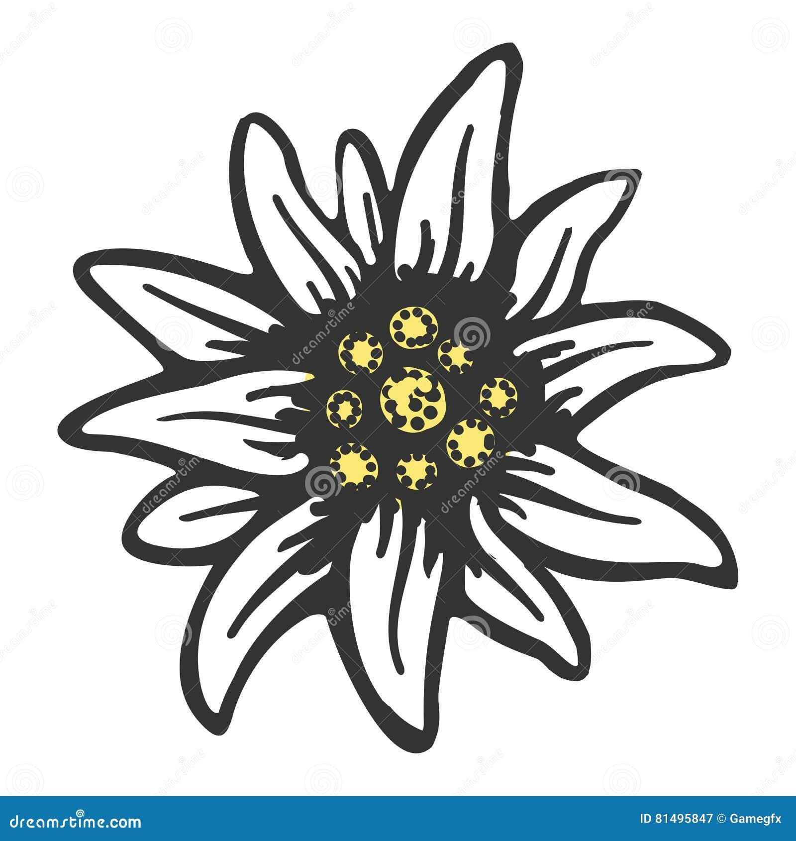 Coloriage Fleur Edelweiss.Modele Dessin Edelweiss Fleur