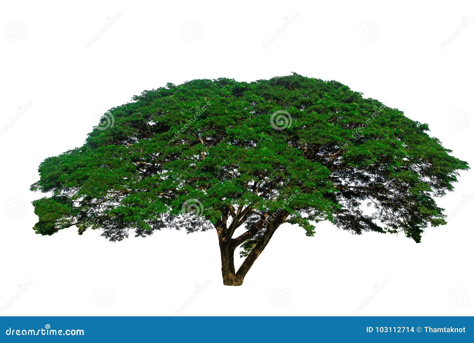 Lokalisiert auf dem weißen Hintergrund des großen Baums benutzt, um zu entwerfen oder der Dekoration