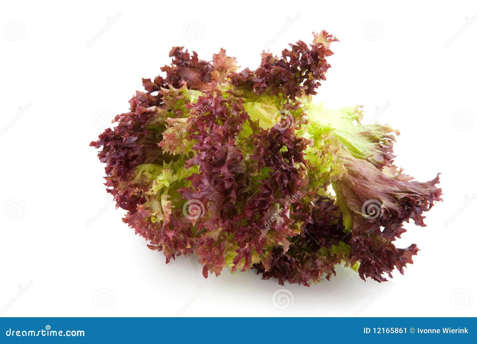 lollo rosso salat stockbild bild von frisch gr n salat. Black Bedroom Furniture Sets. Home Design Ideas