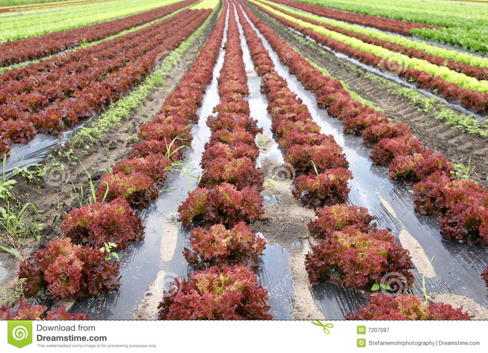 lollo rosso salat lizenzfreie stockfotografie bild 7207097. Black Bedroom Furniture Sets. Home Design Ideas