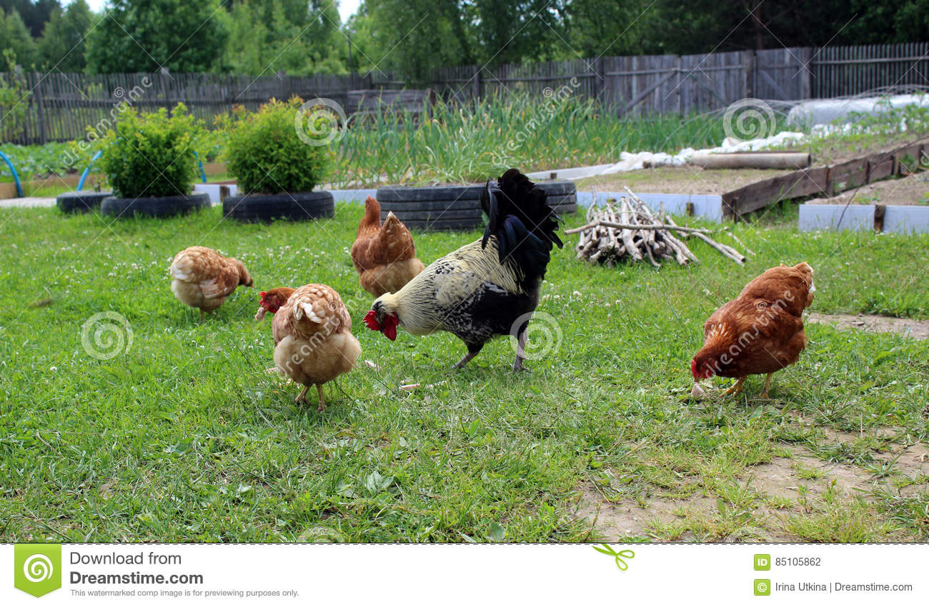 Lomang-Brown chickens