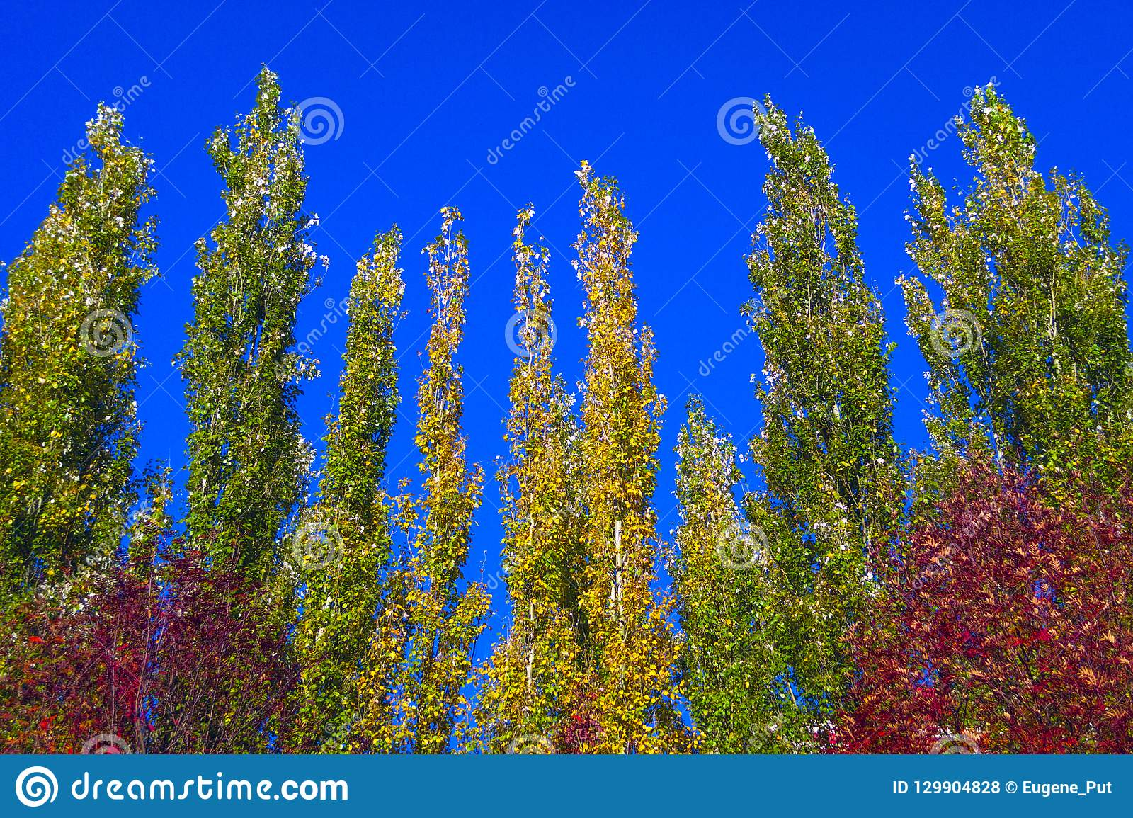 Lombardy Poplar Tree Tops Against Blue Sky On A Windy Day. Abstract Natural Background. Autumn Trees, Colorful Fall Foliage.