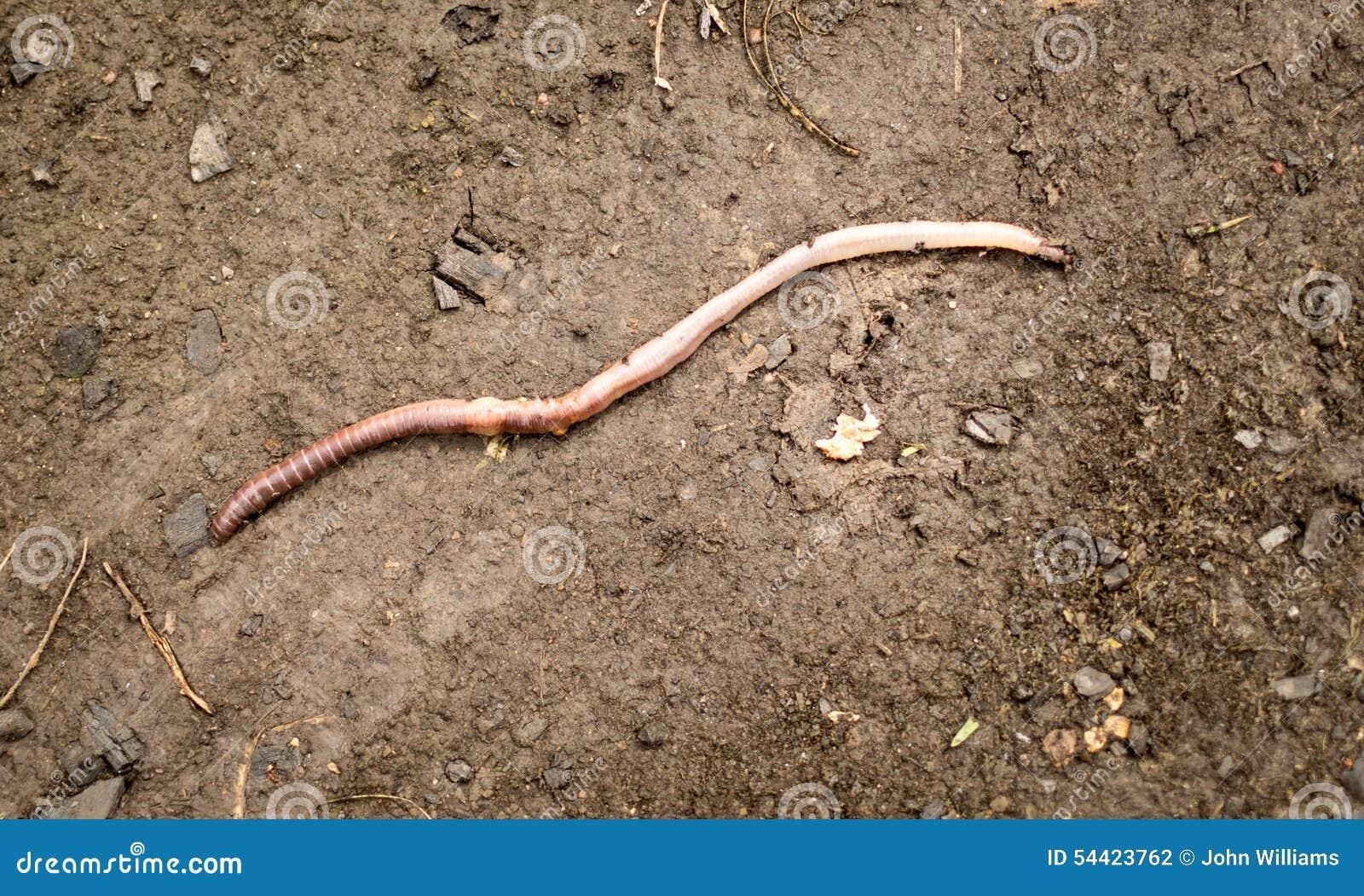 Lombriz de tierra grande en fango