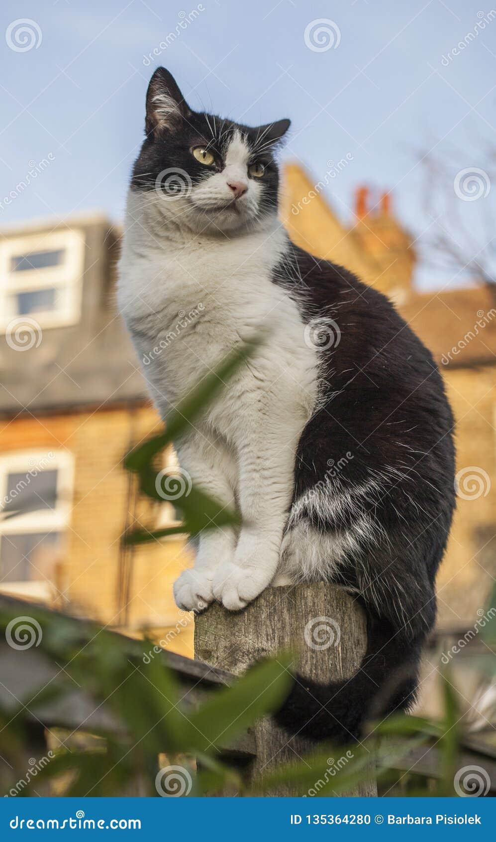 London England - en vit och svart fluffig katt som sitter på ett staket