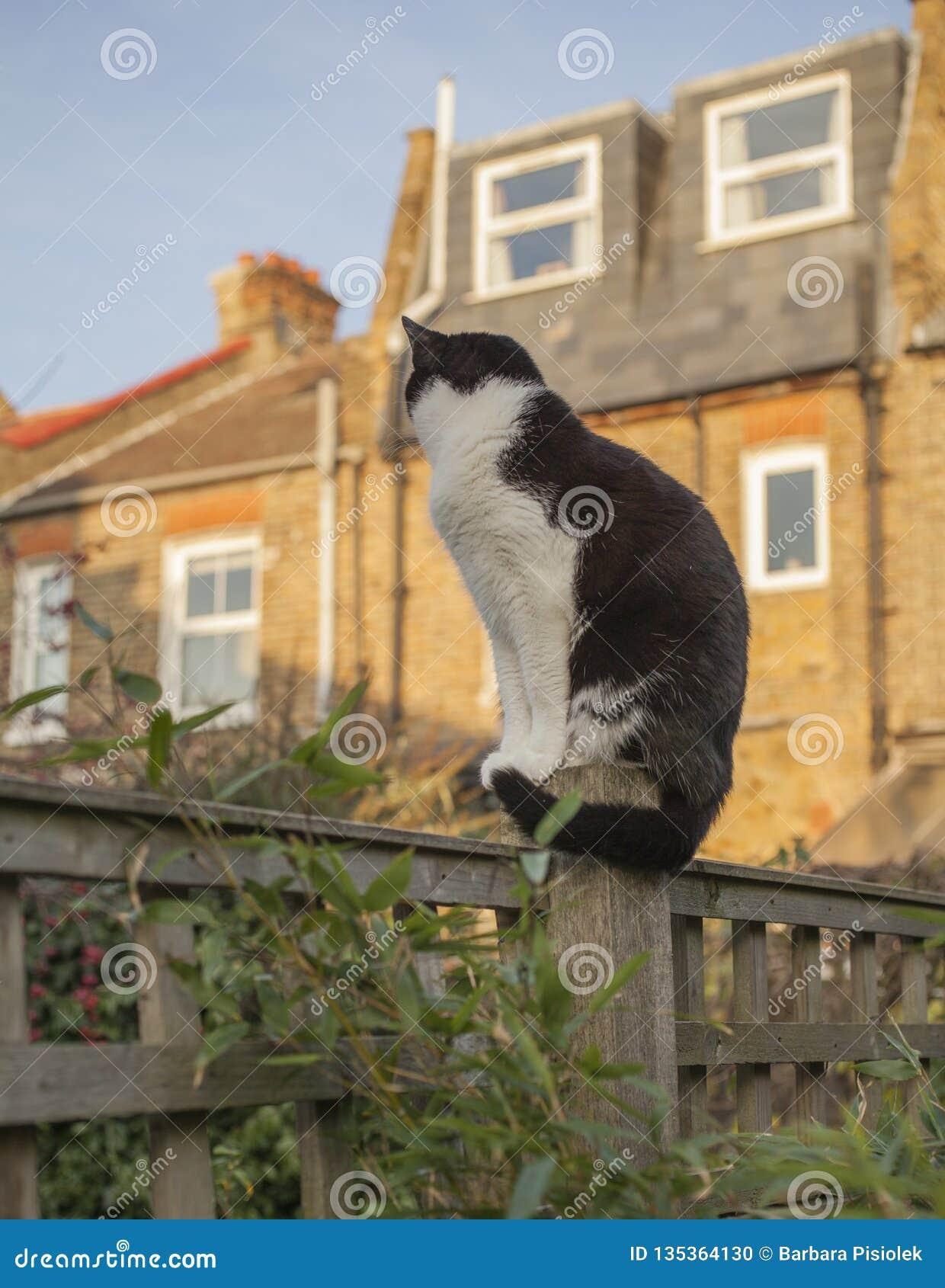 London England, UK - en vit och svart katt i trädgården