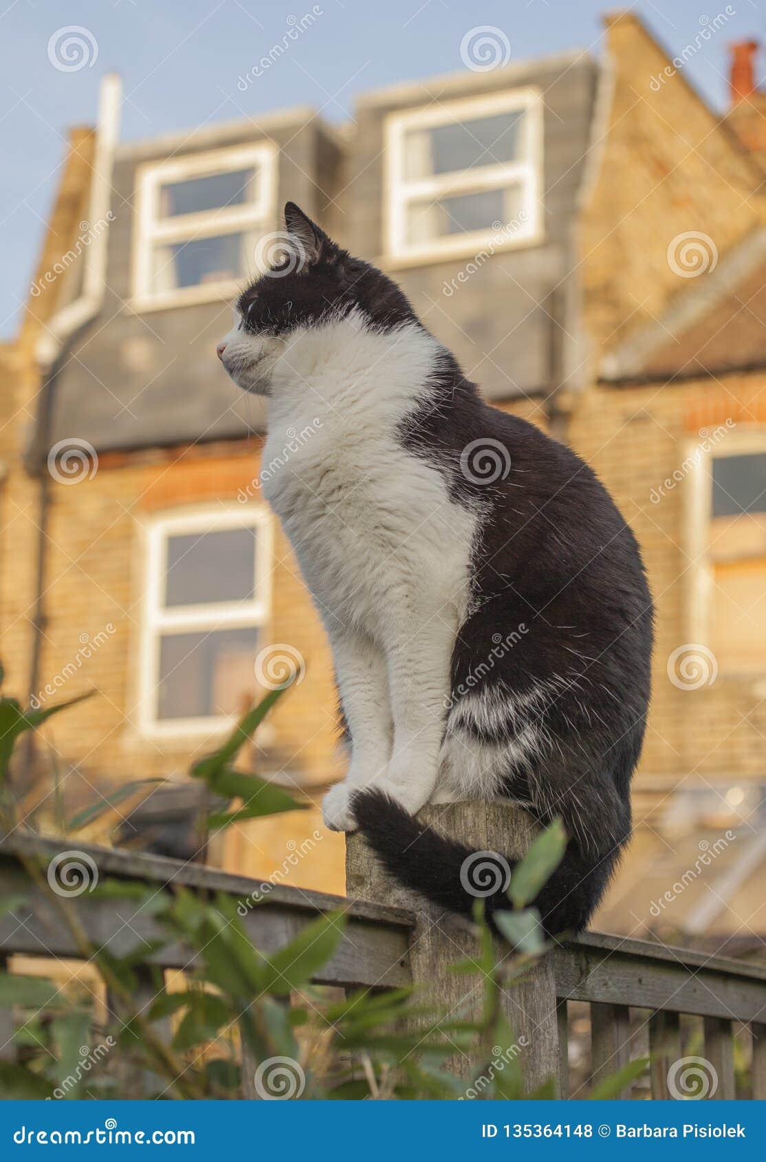 London England, UK - en vit och svart katt i trädgården på en solig dag